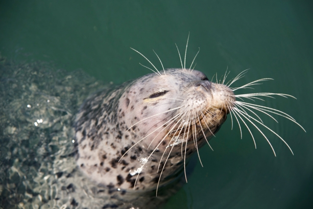 Harbor seal with prominent whiskers