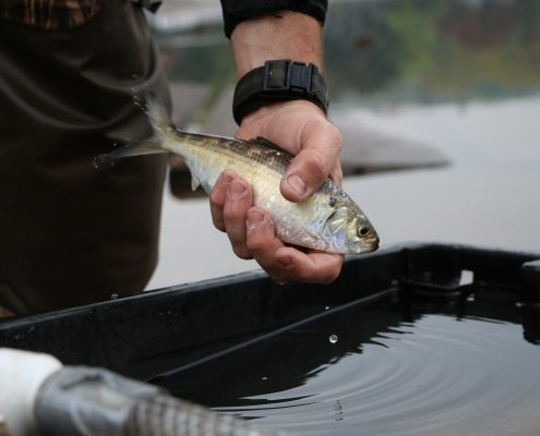 River herring being held above a holding tank
