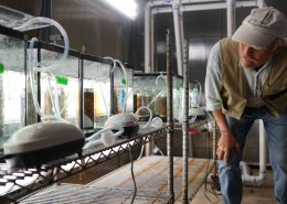 Scientist looks at a row of glass growing tanks