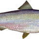 Illustration of a river herring