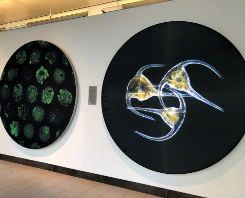 Two circular wall displays of microorganisms, one with three dinoflagellates, on display, winners of 2020 Koch Institute Image Awards