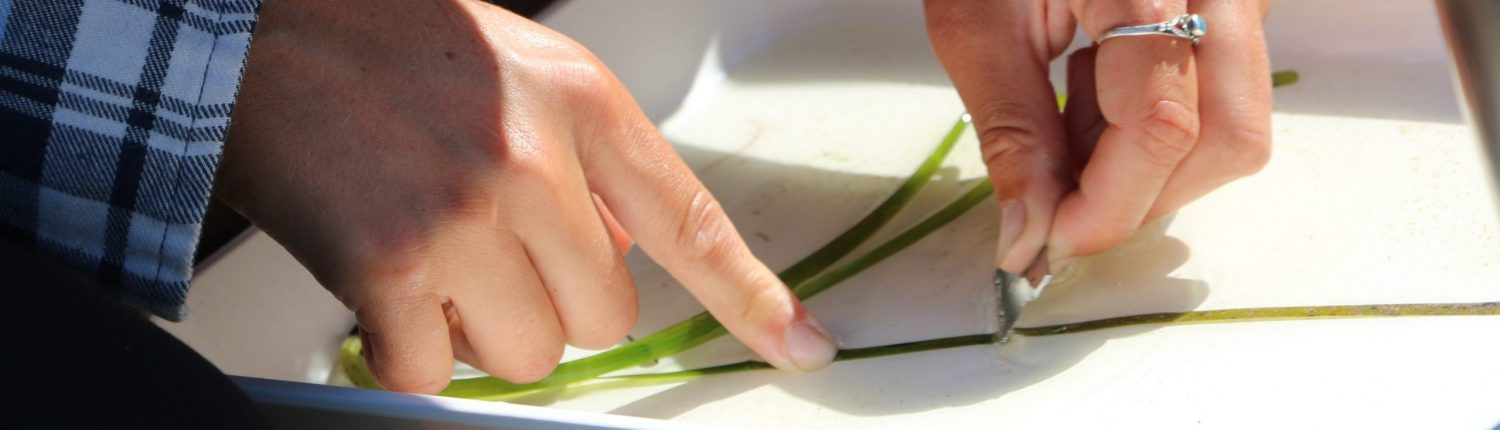 A researcher's hands scraping blades of eelgrass in a white tray with a blade.