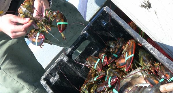 A lobster being held over a container of many lobsters
