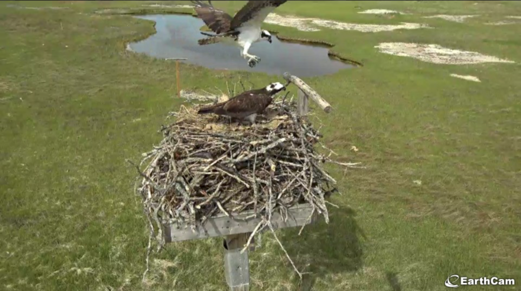 Screenshot of a live cam showing an osprey flying to its nest at a wetland