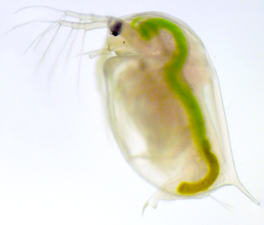 A translucent daphnia with green algae in its gut under a microscope.